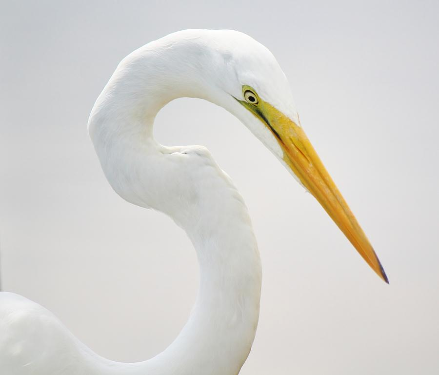 Great White Egret In Deep Thought Photograph  - Great White Egret In Deep Thought Fine Art Print