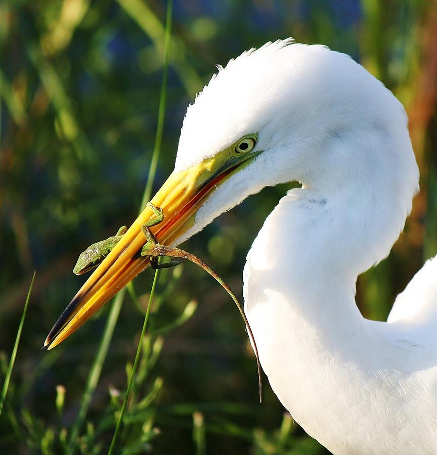Great White Egret In The Lizard Photograph