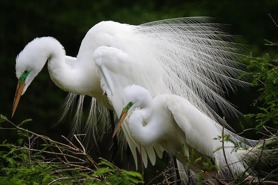 Egret Photograph - Great White Egret Mates by Paulette Thomas