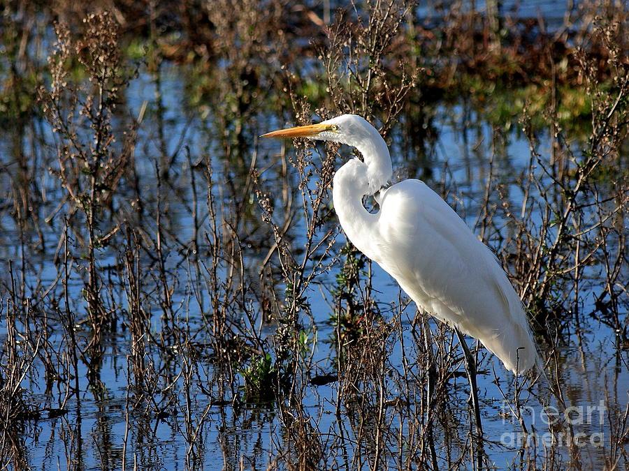 Great White Egret Photograph