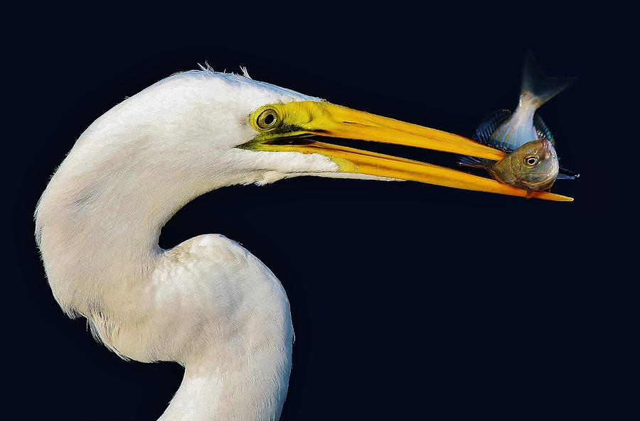 Egrets Photograph - Great White Egret With His Catch by Paulette Thomas