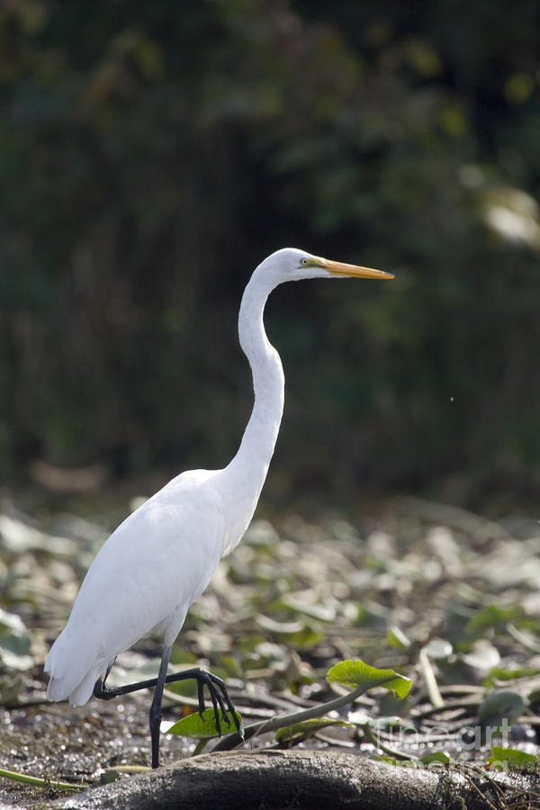Great White Heron Photograph  - Great White Heron Fine Art Print