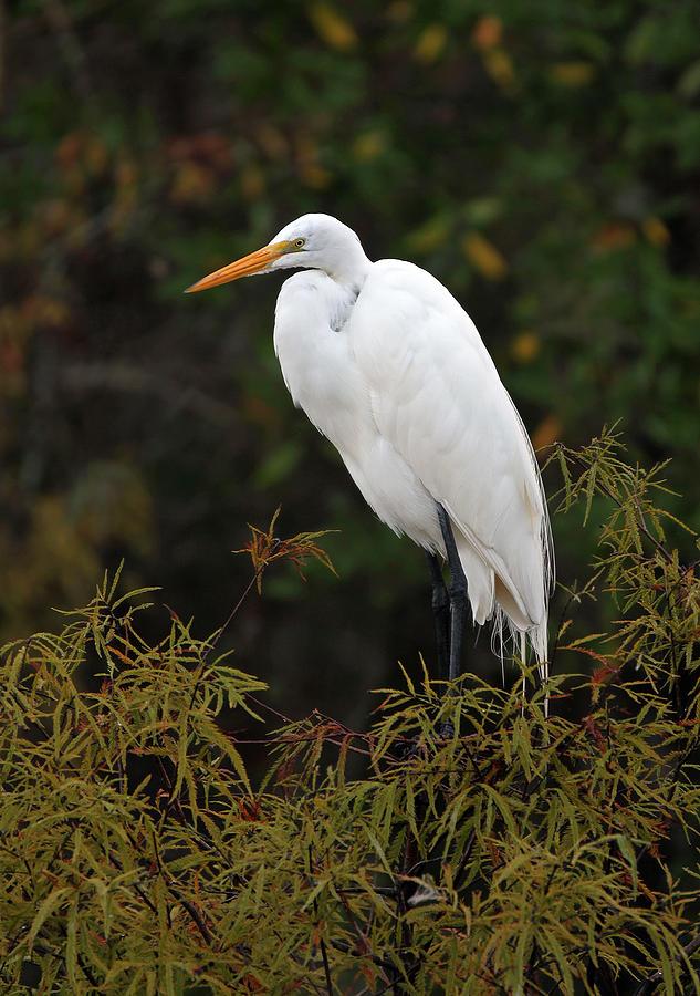 White herring bird - photo#23