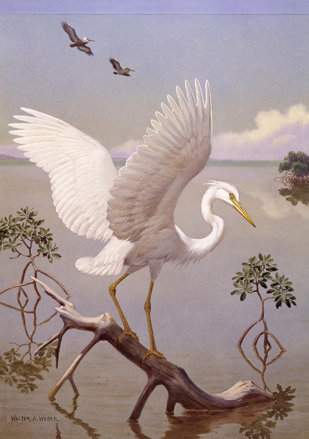 Great White Heron, White Morph Of Great Photograph  - Great White Heron, White Morph Of Great Fine Art Print