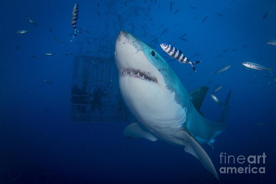 Great white shark and pilot fish photograph by todd winner for Great white shark fishing
