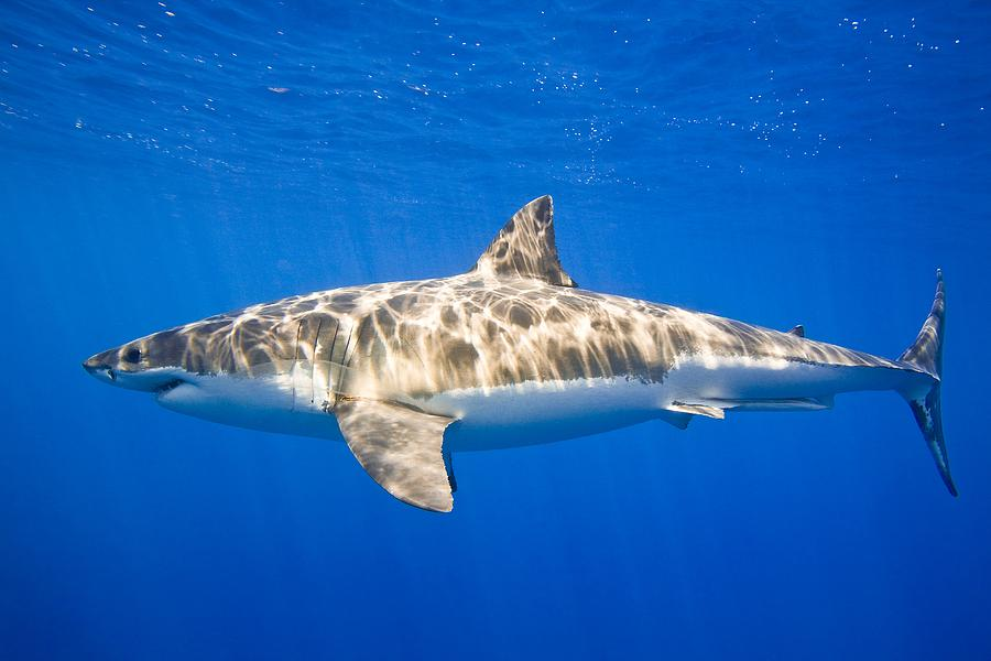 Animals Photograph - Great White Shark Carcharodon Carcharias by Carson Ganci