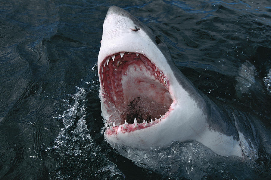 Great White Shark Jaws Photograph
