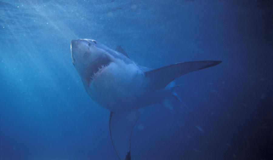 Great White Shark With Light Rays Photograph  - Great White Shark With Light Rays Fine Art Print