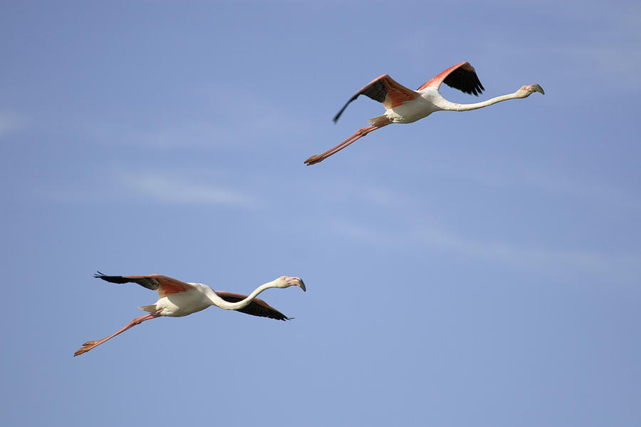 Aninimal Book: Greater Flamingos Flying Camargue France Photograph by ...