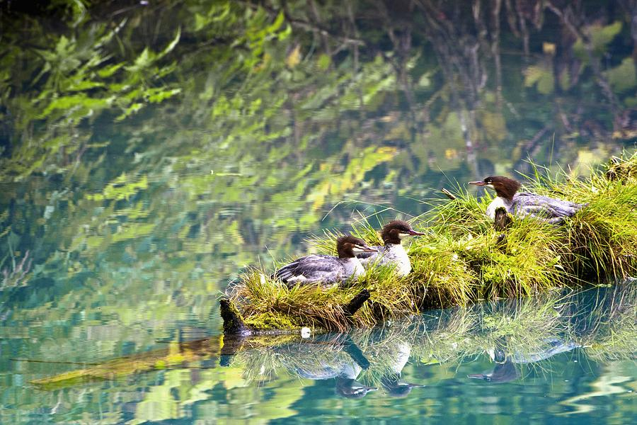 Alaska Photograph - Grebe Podicipedidae Birds Sitting On A by Richard Wear