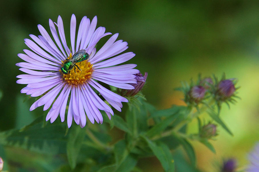 Metallic Green Bee Photograph - Green And Purple by Doris Potter