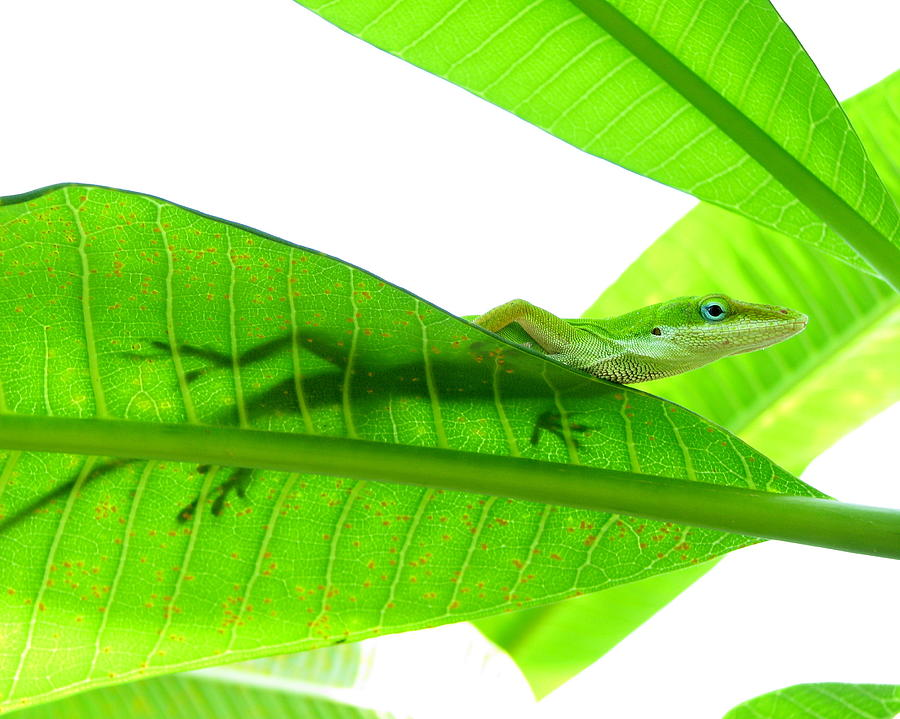 Green Anole On Leaf With Silhouette Photograph