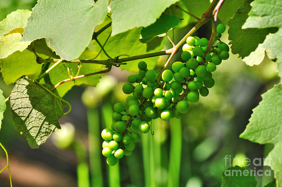 Green Berries Photograph  - Green Berries Fine Art Print