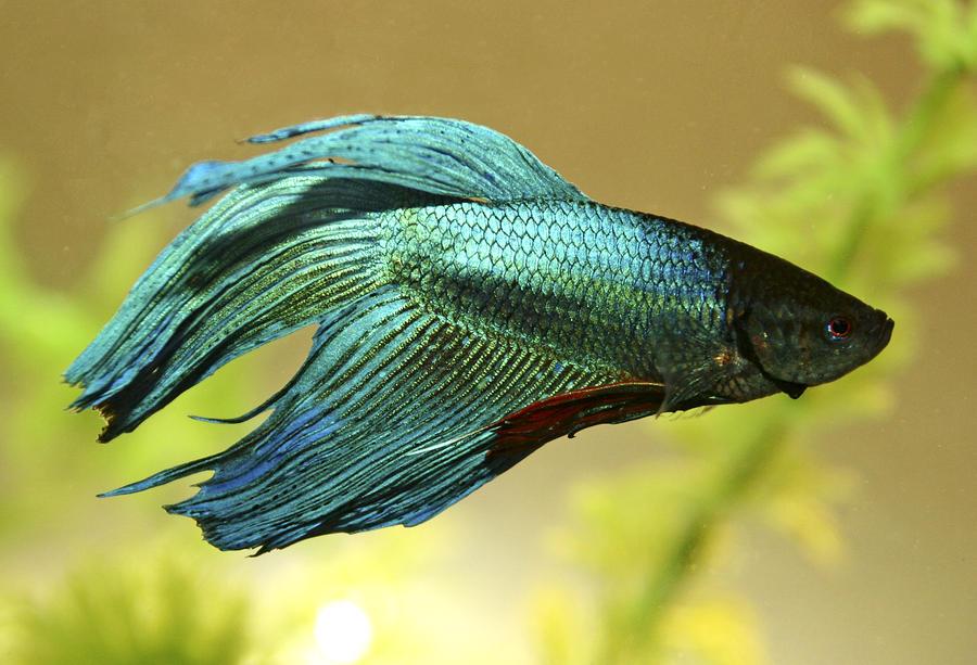 Green betta photograph by rebecca newton for Petsmart fish guarantee