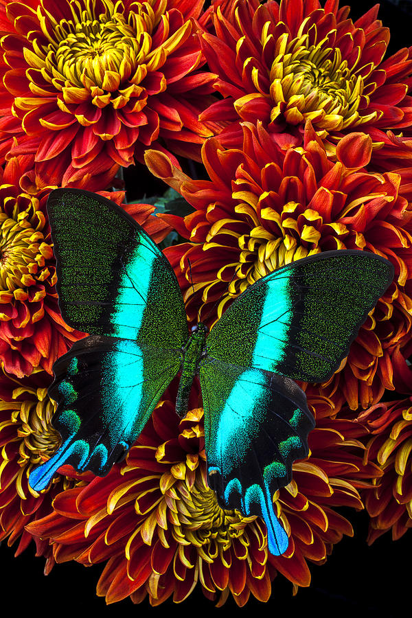 Green Blue Butterfly Photograph
