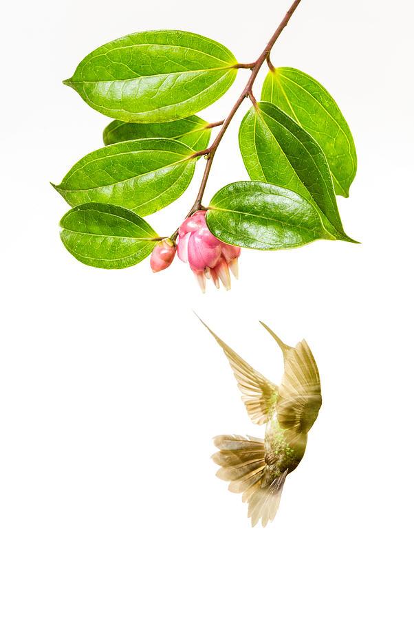 Hummingbird Photograph - Green Crowned Brilliant Hummingbird by Hali Sowle