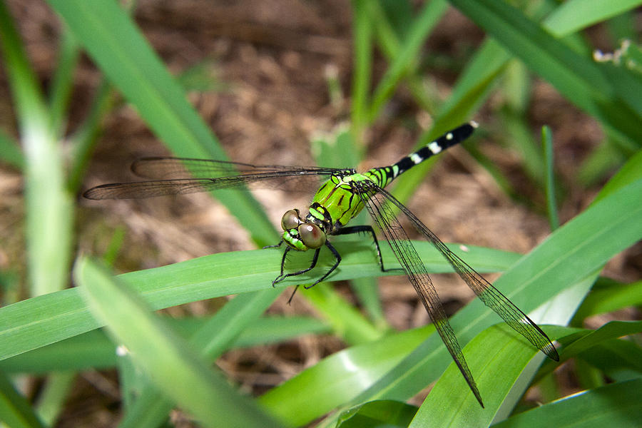 Green dragonfly pictures - photo#18