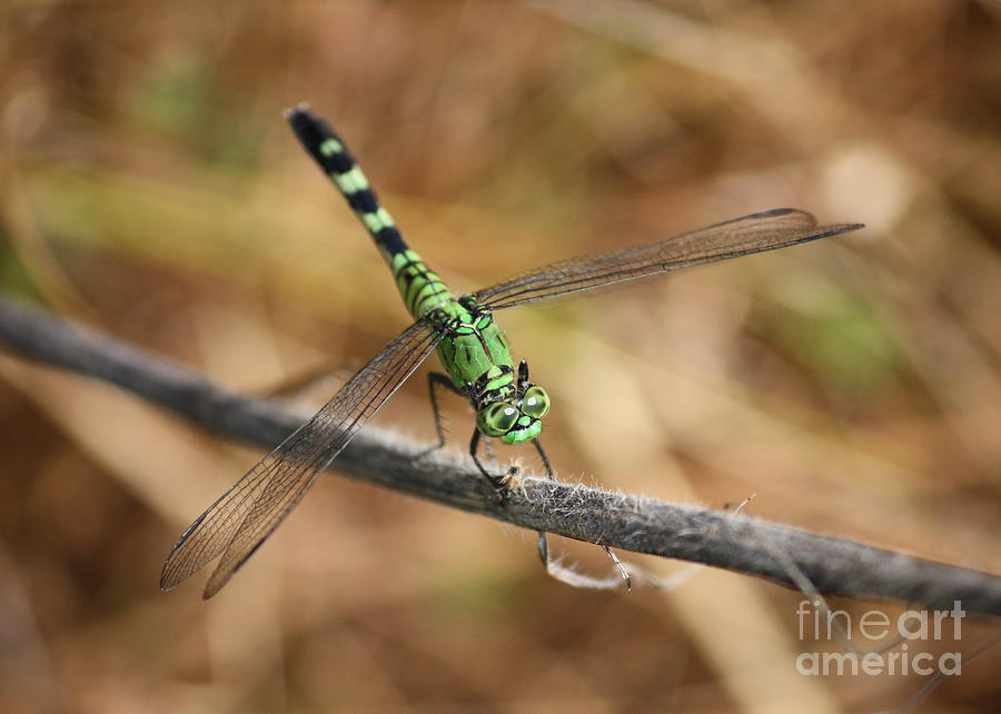 Green Dragonfly On Twig Photograph  - Green Dragonfly On Twig Fine Art Print