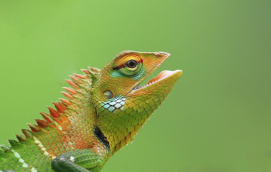Green Forest Lizard Photograph