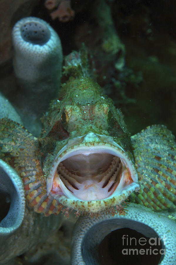 Green Grouper With Open Mouth, North Photograph  - Green Grouper With Open Mouth, North Fine Art Print