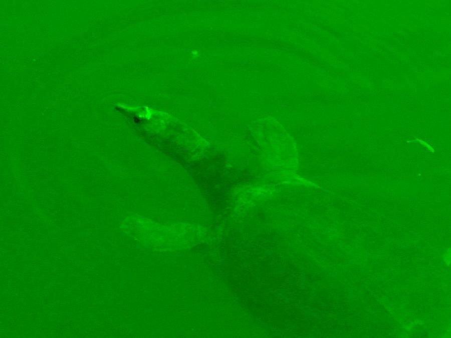 Green Hello Turtle Digital Art