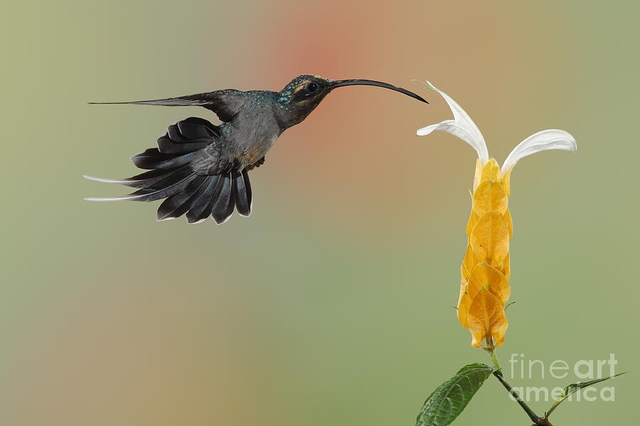 Green Hermit In Flight Photograph  - Green Hermit In Flight Fine Art Print