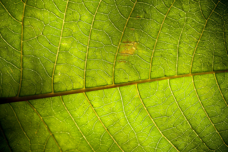 Green Leaf Background Photograph  - Green Leaf Background Fine Art Print