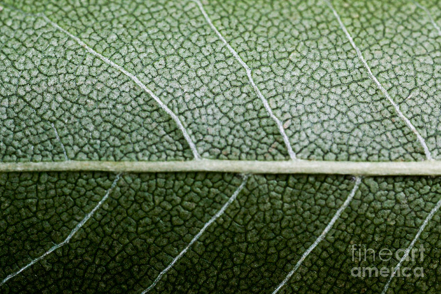 Green Leaf Geometry Photograph