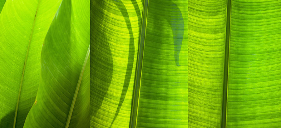 Green Leaf Photograph