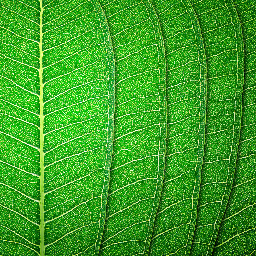 Green Leaf Texture Photograph