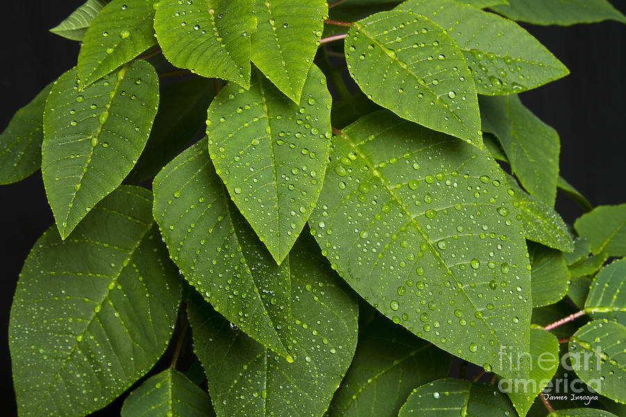Leaf Photograph - Green Leaves And Water Drops by James BO  Insogna