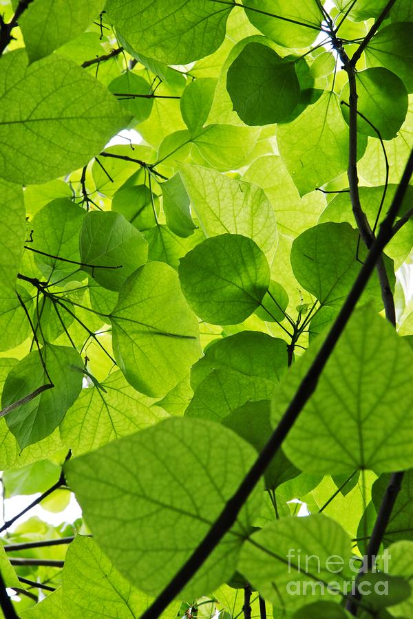 Green Leaves Photograph