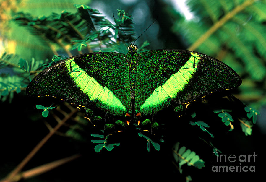 Green peacock butterfly - photo#2