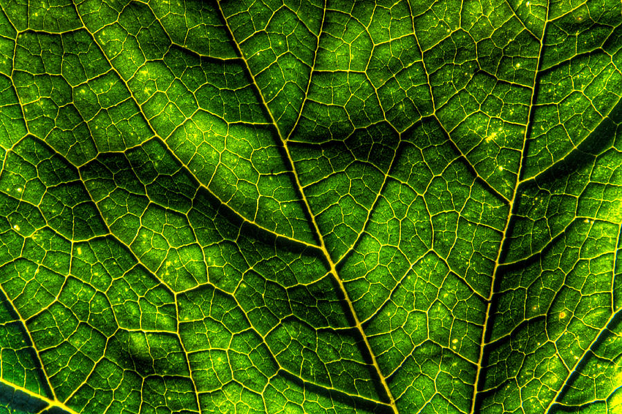 Canada Photograph - Green Pumpkin Leaf by Matt Dobson