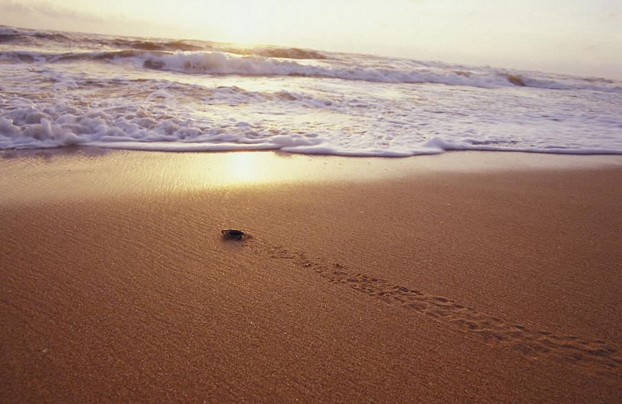 Green Sea Turtle Hatchlings Race Photograph