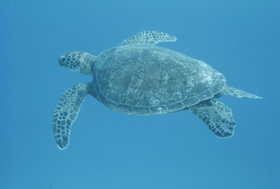 Sea Turtles Swimming Green sea turtle swimming