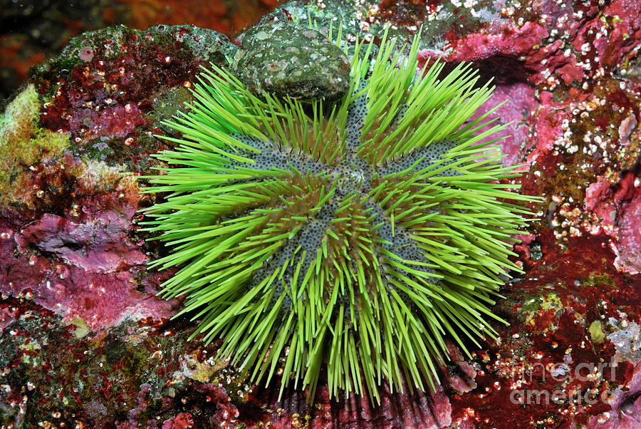 Green Sea Urchin On Rock Photograph