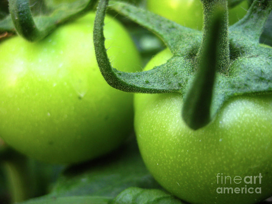 Green Tomatoes No.3 Photograph  - Green Tomatoes No.3 Fine Art Print