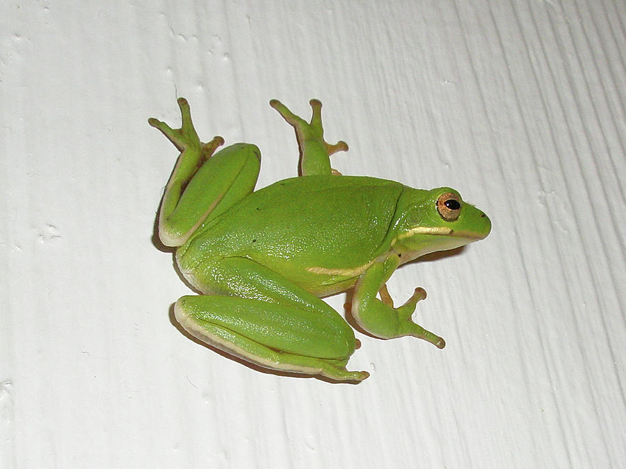 Green Tree Frog - Hyla Cinerea Photograph