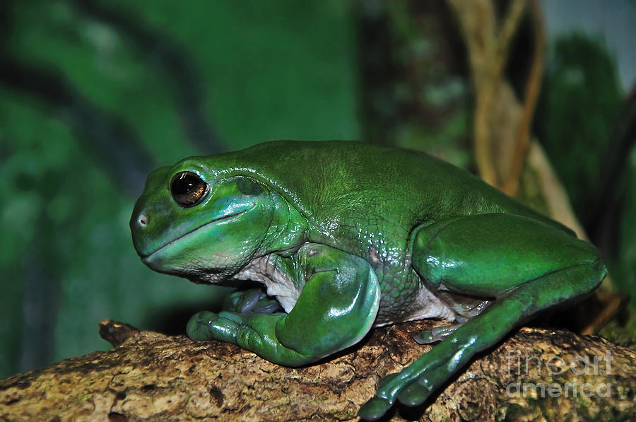 Green Tree Frog With A Smile Photograph