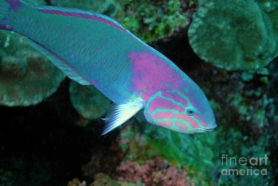 Green Wrasse On Coral Reef Photograph  - Green Wrasse On Coral Reef Fine Art Print