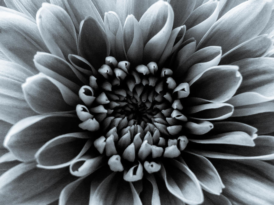 Grey Flower Photograph  - Grey Flower Fine Art Print