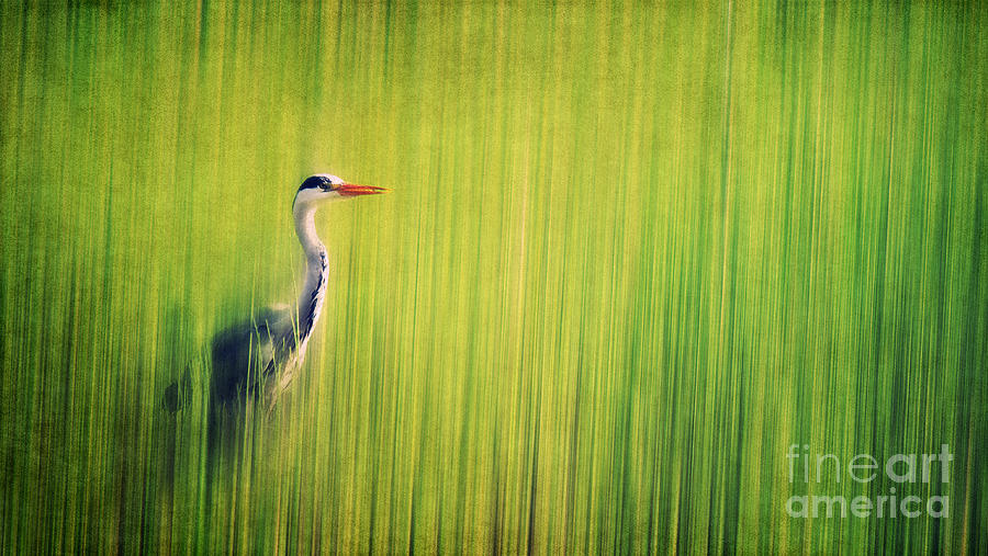 Grey Heron Photograph  - Grey Heron Fine Art Print
