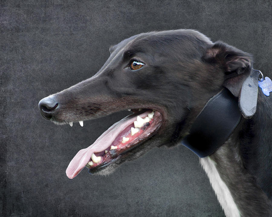 Greyhound Dog Portrait Photograph  - Greyhound Dog Portrait Fine Art Print
