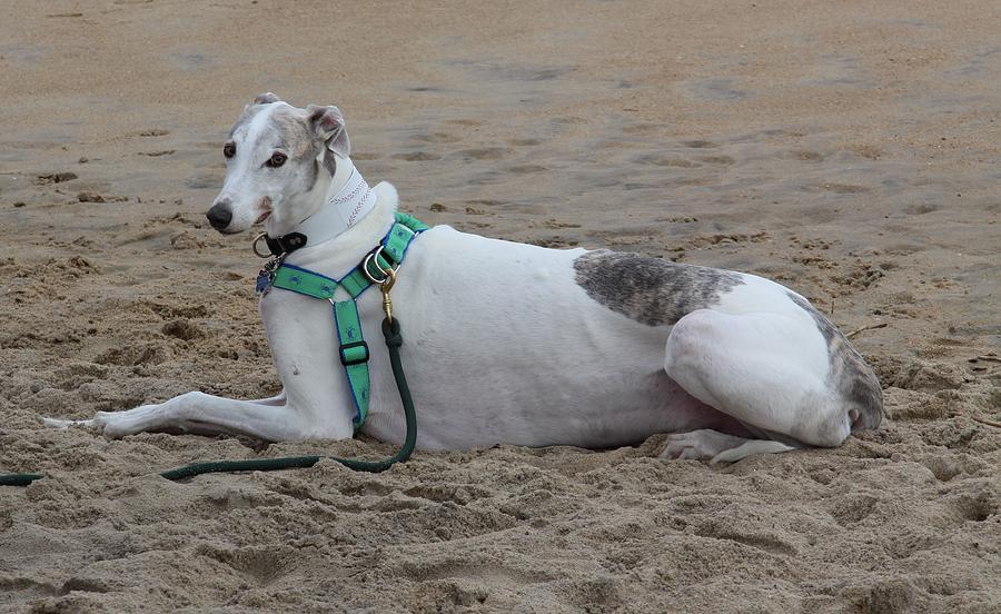 Greyhound On The Beach Photograph