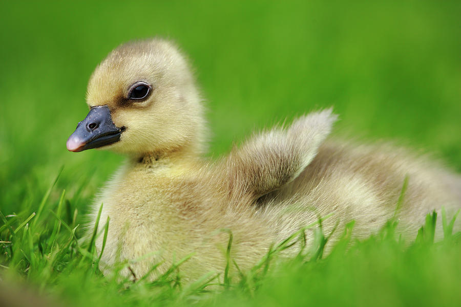 Mp Photograph - Greylag Goose Anser Anser Gosling by Cyril Ruoso