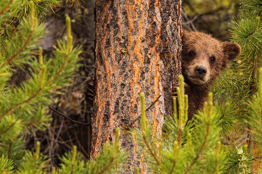Grizzly Bear Cub Up A Tree, Yukon is a photograph by Robert Postma ...
