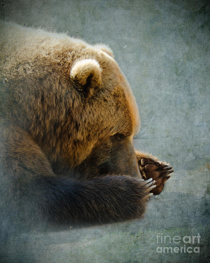 Grizzly Bear Lying Down Photograph  - Grizzly Bear Lying Down Fine Art Print