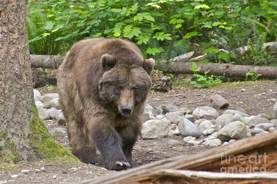 Grizzly bear walking - photo#16