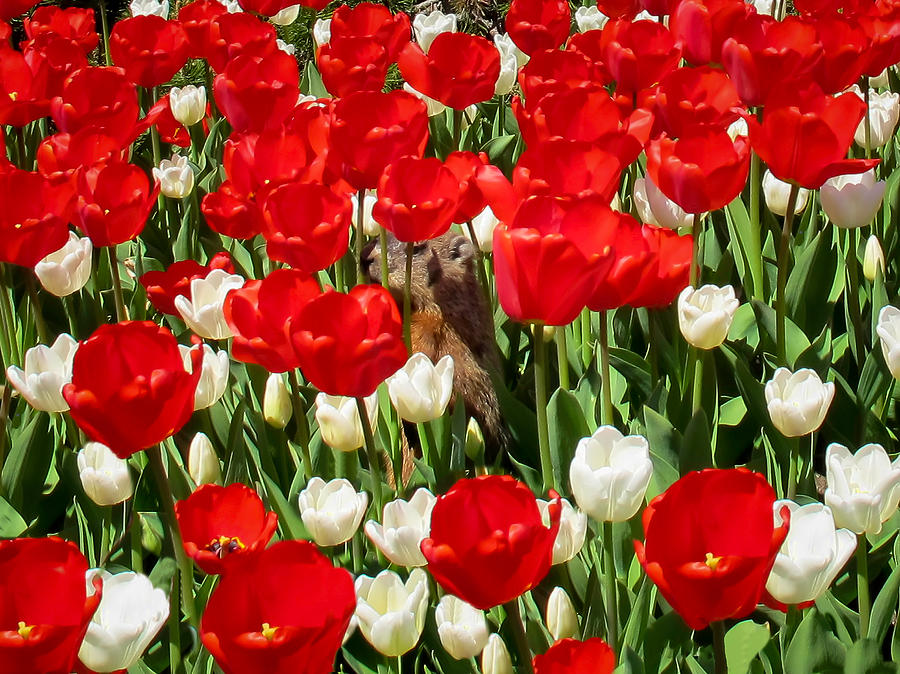 Groundhog Day - A Curious Marmot Peeking Through Luminous Red And White Spring Tulips On A Sunny Day Photograph  - Groundhog Day - A Curious Marmot Peeking Through Luminous Red And White Spring Tulips On A Sunny Day Fine Art Print